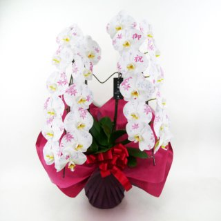 大輪胡蝶蘭 化粧蘭 2本立 白 ※送料無料