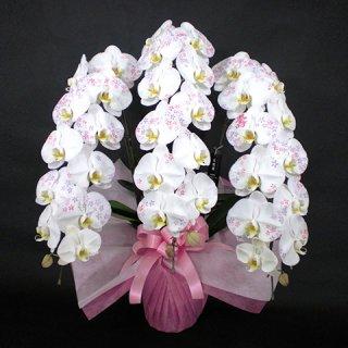 大輪胡蝶蘭 化粧蘭 3本立 白 ※送料無料