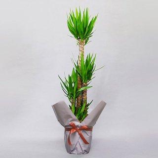 観葉植物 ユッカ 10号 バスケット付 送料込