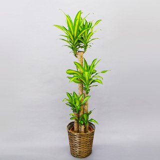 観葉植物 マッサン 10号 バスケット付 送料込 ※出荷:4月~10月末