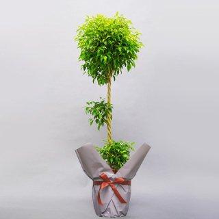 観葉植物 ベンジャミン 10号 バスケット付 送料込
