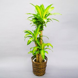 観葉植物 マッサン 8号 バスケット付 送料込 ※出荷:4月~10月末