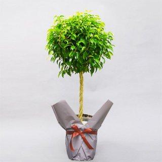観葉植物 ベンジャミン 8号 バスケット付 送料込