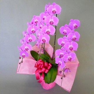 大輪胡蝶蘭 3本立 ピンク 3Lサイズ(34〜37輪前後) ※送料無料