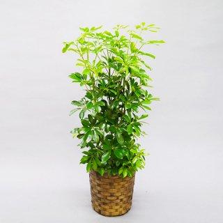 観葉植物 8号 カポック 送料込 10,000円(税抜)
