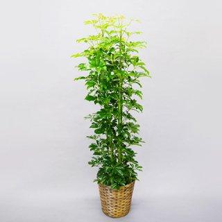 観葉植物 10号 カポック 送料込 15,000円(税抜)