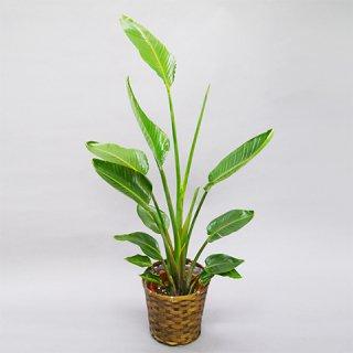 観葉植物 8号 オーガスタ 送料込 10,000円(税抜)