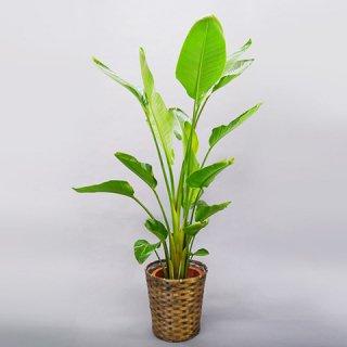 観葉植物 10号 オーガスタ 送料込 15,000円(税抜)