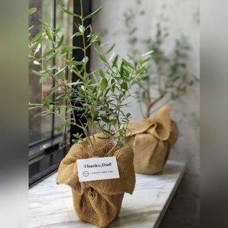 【父の日ギフト】2種類のオリーブ苗セット ※送料込