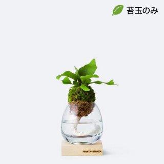トーチS(シダ類)/苔玉のみ