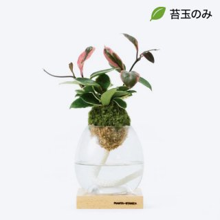 トーチM(ホヤリップカラー)/苔玉のみ