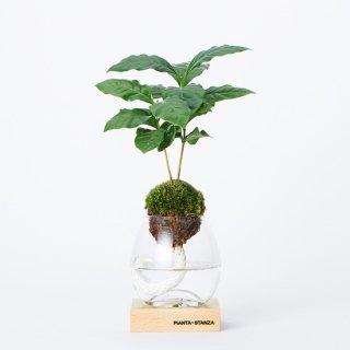 トーチS(コーヒーの木)