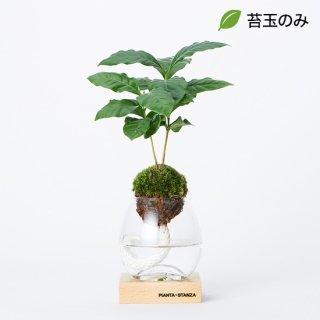 トーチS(コーヒーの木)/苔玉のみ