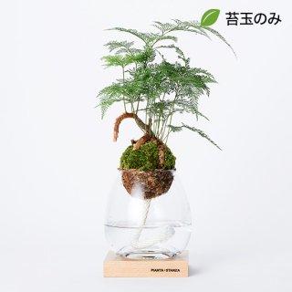 トーチM(シノブ)/苔玉のみ