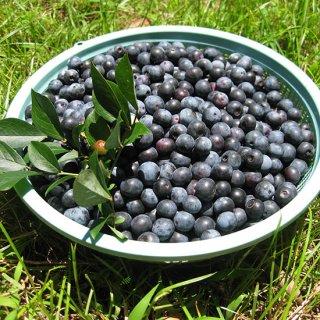 無農薬、生ブルーベリー1kg ラビットアイ系が主【6月後半〜8月中頃】