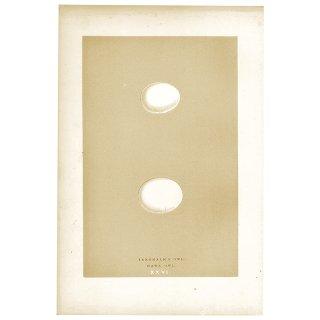 アンティークプリント フクロウの卵(TENGMALM'S/HAWK)