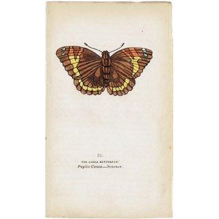 蝶々(蛾)・バタフライプリントNo.31(Surinam)