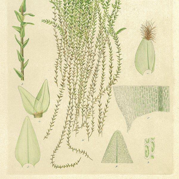 スウェーデン アンティークボタニカルプリント 植物画0058