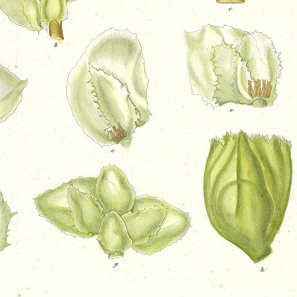 スウェーデン アンティークボタニカルプリント 植物画0061