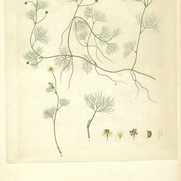 スウェーデン アンティークボタニカルプリント 植物画0062