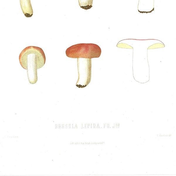スウェーデン アンティークボタニカル キノコプリント 植物画0063