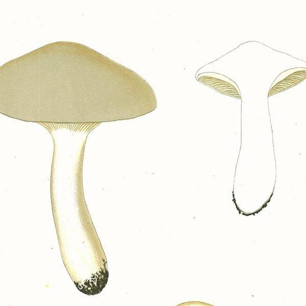 スウェーデン アンティークボタニカル キノコプリント 植物画0064
