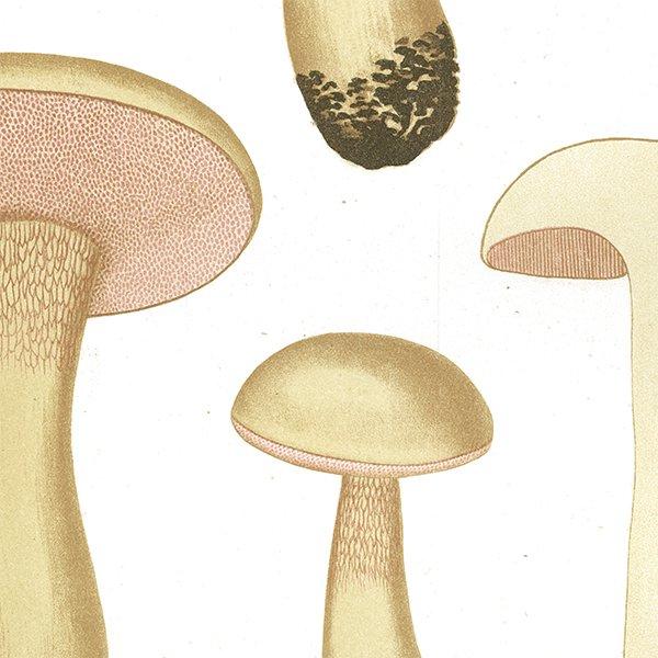 スウェーデン アンティークボタニカル キノコプリント 植物画0065