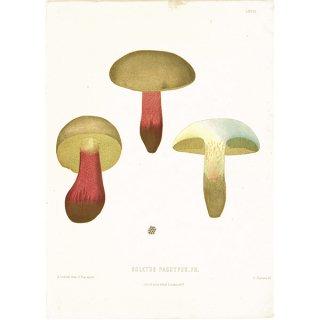 スウェーデン アンティークボタニカル キノコプリント 植物画0066