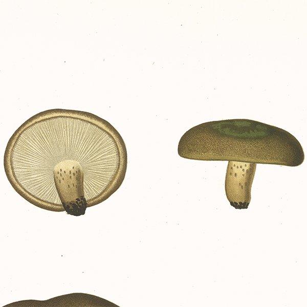 スウェーデン アンティークボタニカル キノコプリント 植物画0067