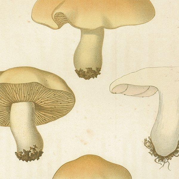 スウェーデン アンティークボタニカル キノコプリント 植物画0068