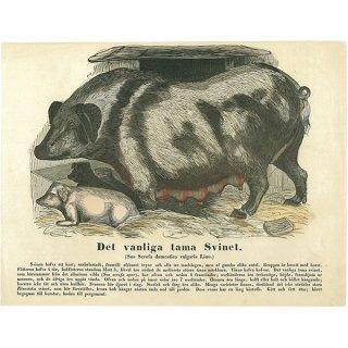 動物図鑑 豚の親子(家畜)スウェーデン 001(アンティークプリント)