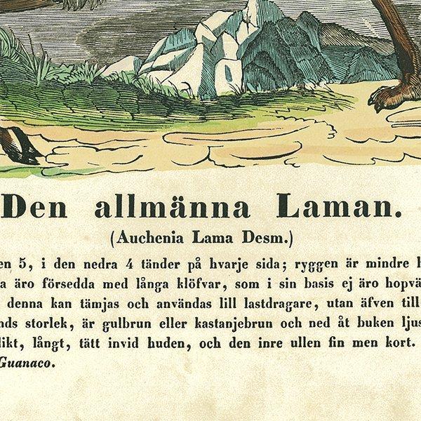 動物図鑑ラマ(リャマ) スウェーデン 005(アンティークプリント)