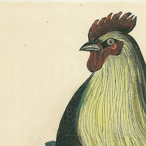 動物図鑑ニワトリ(鶏)スウェーデン 006(アンティークプリント)