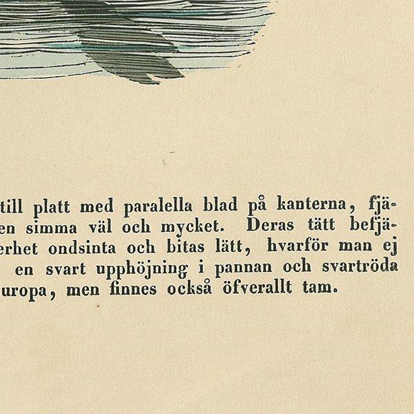 動物図鑑 白鳥(スワン)スウェーデン 007(アンティークプリント)