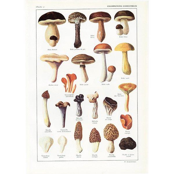 フランス アンティークボタニカル キノコプリント 植物画0069