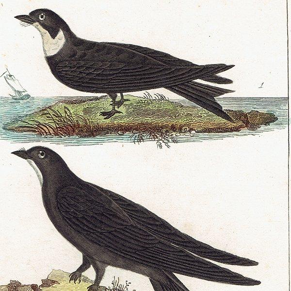 フレンチアンティークプリント(ツバメ)鳥類・博物画 0050