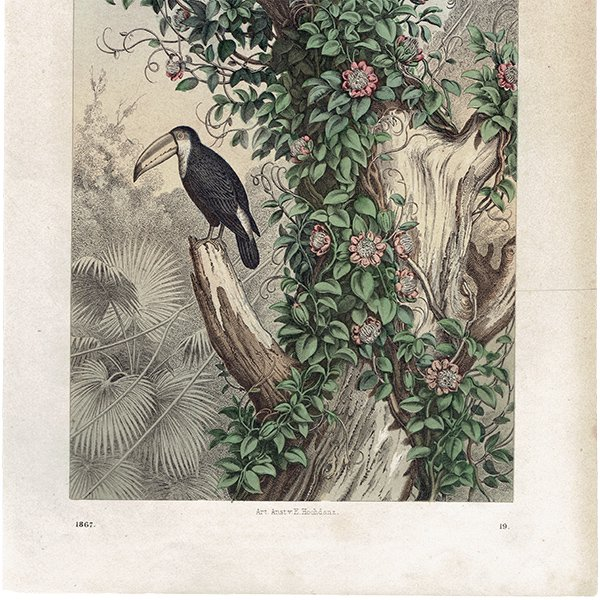 ドイツアンティークプリント オオハシ 鳥類・博物画 0053