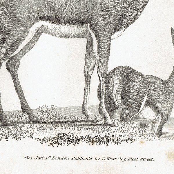 イギリスアンティークプリント  アンテロープ・動物図鑑・博物画 0054