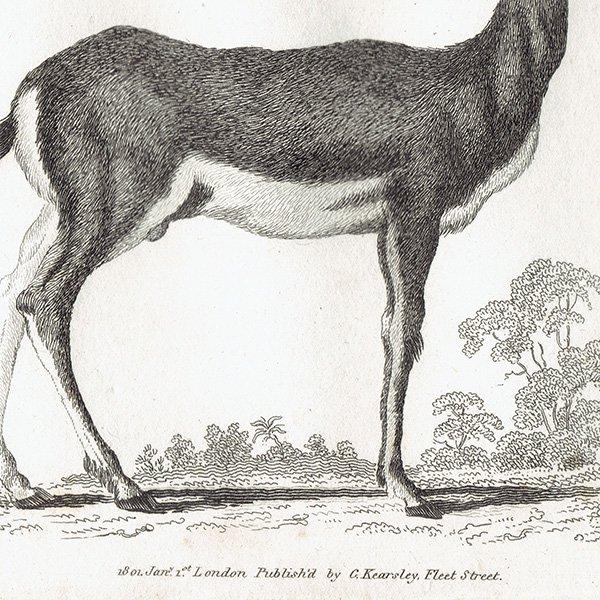 イギリスアンティークプリント  アンテロープ・動物図鑑・博物画 0055