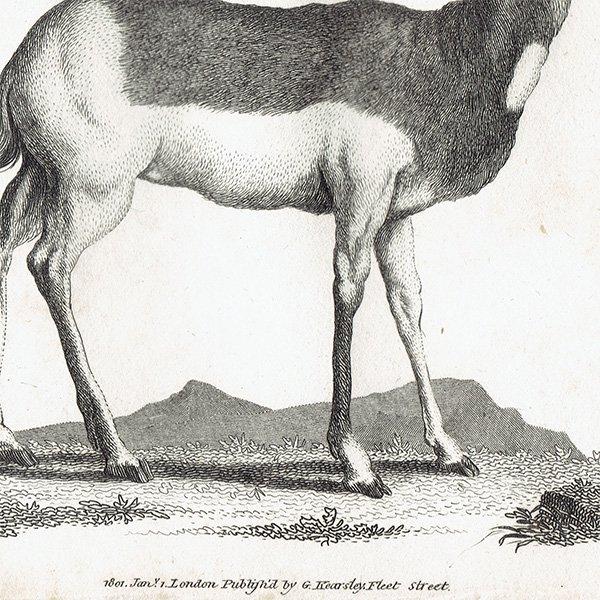 イギリスアンティークプリント  アンテロープ・動物図鑑・博物画 0056