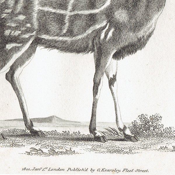 イギリスアンティークプリント  アンテロープ・動物図鑑・博物画 0057