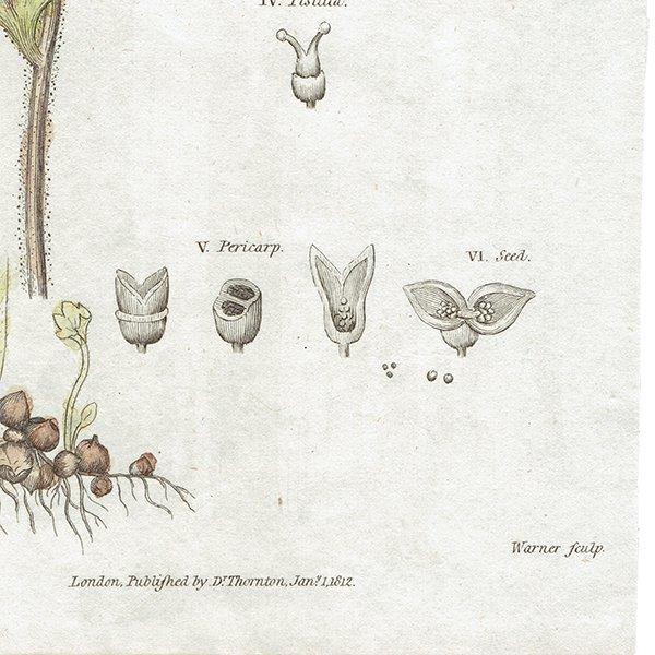 イギリス アンティークボタニカルプリント 植物画0079