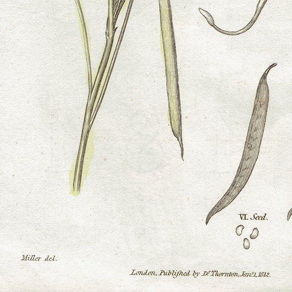 イギリス アンティークボタニカルプリント 植物画0080