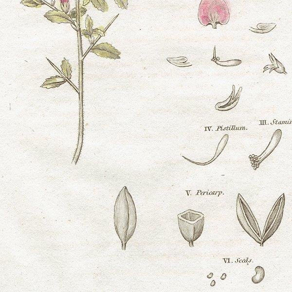イギリス アンティークボタニカルプリント 植物画0081