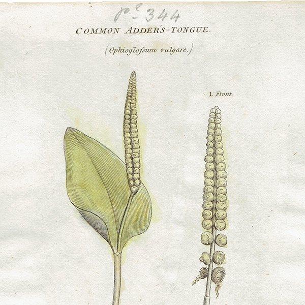 イギリス アンティークボタニカルプリント 植物画0082