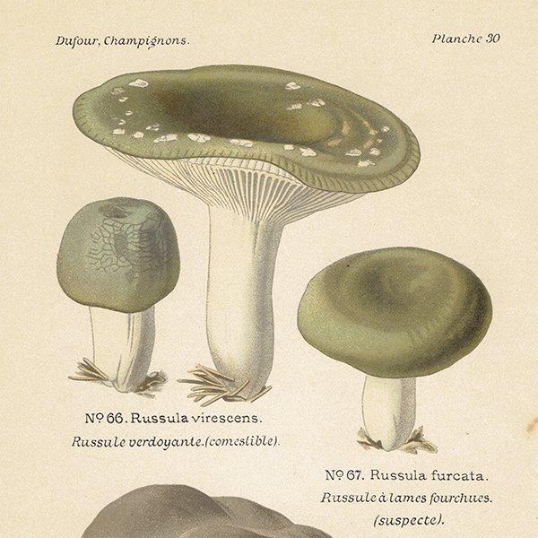 フランス キノコアンティークプリント ボタニカル植物画0084
