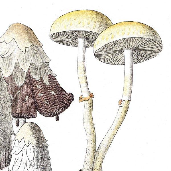 フランス キノコアンティークプリント ボタニカル植物画0085