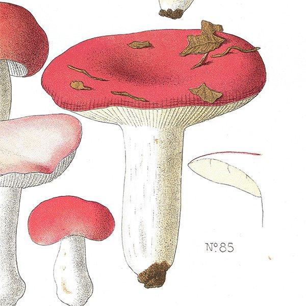 フランス キノコアンティークプリント ボタニカル植物画0088