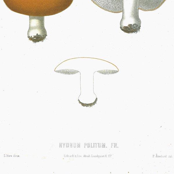 スウェーデン アンティークボタニカル キノコプリント 植物画0089