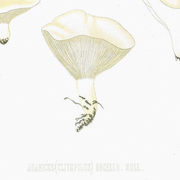 スウェーデン アンティークボタニカル キノコプリント 植物画0090